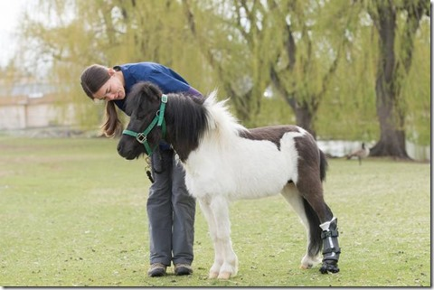 Miniature horse Shine is fitted with a prosthetic hoof at Colorado State University's Veterinary Teaching Hospital, April 19, 2016.